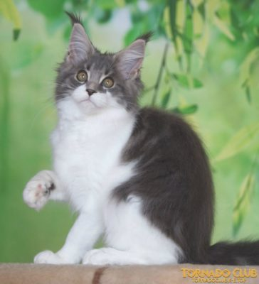 фото котенок мейн-кун голубой биколор (a 03) Тверь