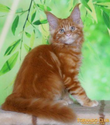 фото котенок мейн-кун красный (d) Тверь